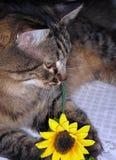 Milo que juega con el girasol Imagen de archivo
