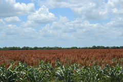 A milo sorghum field on a south Texas farm Stock Photography