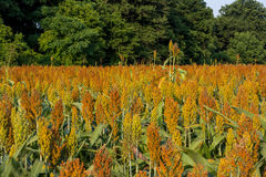Milo (Sorghum). Golden milo or sorghum crop.  Sorghum is a gluten-free grain Stock Photography