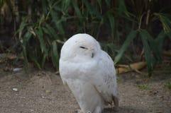 Milou Owl Close Image libre de droits