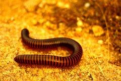 Milpiés Foto de archivo