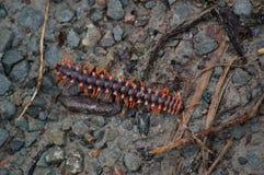 Milpiés acorazado apoyado plano anaranjado Fotografía de archivo libre de regalías
