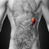 Milt - Mannelijke anatomie van menselijke organen - x-ray mening royalty-vrije illustratie