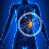 Milt - Vrouwelijke Organen - Menselijke Anatomie vector illustratie