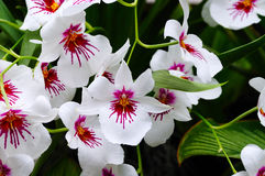 Miltonia orchid. Multiple white and purple Miltonia orchid flowers - background Stock Photo
