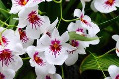 Miltonia orchid stock photo