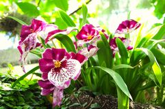 Miltonia, pink orchids with leaves Royalty Free Stock Photo