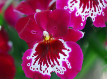 Miltonia Pink white orchid flower Stock Photography
