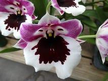 Free Miltoniopsis Hajimo Ono  Black Falls  Royalty Free Stock Photos - 43682378