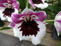 Miltoniopsis Hajimo ono 'Black Falls' Royalty Free Stock Photos