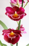 miltoniopsisorchid Royaltyfri Fotografi