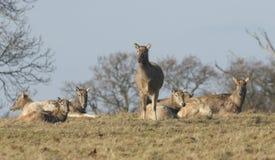 Milu Deer also known as Pére David`s Deer, Elaphurus davidianus. Royalty Free Stock Photography