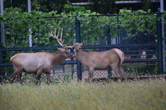 Milu deer Royalty Free Stock Photo
