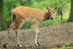 Milu deer. The gazing female of milu deer Stock Photography