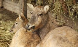 The milu deer with its baby. The milu deer female with its youngster Elaphurus davidianus Royalty Free Stock Image