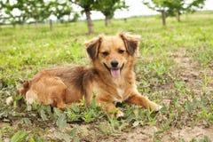 Milutki śliczny pies na trawie Obraz Royalty Free