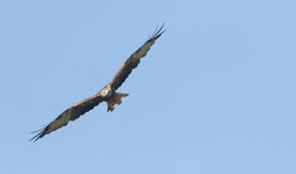 Milvus Milvus змея летания красное Стоковое фото RF