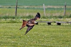 红色风筝,milvus milvus,在德国自然公园 库存图片