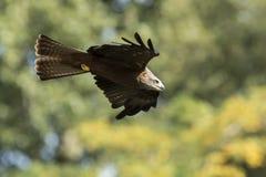 Milvus för svart drake migrans i flykten som jagar Royaltyfria Foton