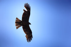 Milvus migrans, Black Kite. Royalty Free Stock Photography