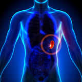Milza - anatomia maschio degli organi umani - vista dei raggi x Fotografia Stock