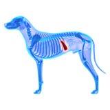 Milza del cane - Canis Lupus Familiaris Anatomy - isolata su bianco Immagini Stock Libere da Diritti