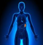 Milza - organi femminili - anatomia umana Fotografie Stock Libere da Diritti