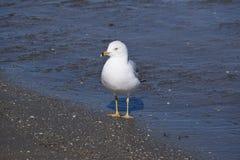 Mim gaivota de mar Imagens de Stock