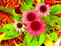 Mimature daisy. These daisy's would brighten any room in one home or office under deception at put success because I grew them in my flower garden and this is royalty free stock photography