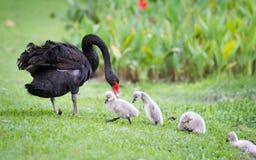 Mime al cisne y a sus niños que aprenden caminar imagen de archivo