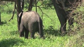 Mime al elefante africano y al becerro que pastan en el prado almacen de video