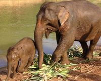 Mime al elefante con el elefante del bebé en Nam Khan River en Laos fotos de archivo