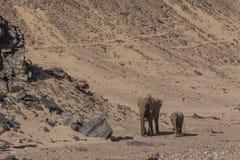 Mime al elefante y al becerro en el desierto de Namib Fotos de archivo