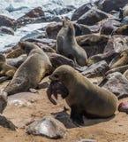Mime al lobo de mar que defiende a su bebé en Namibia Foto de archivo libre de regalías