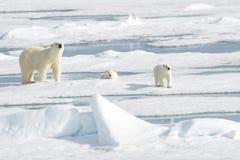 Mime al oso polar y a dos cachorros en el hielo marino imagen de archivo libre de regalías
