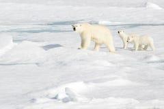 Mime al oso polar y a dos cachorros en el hielo marino foto de archivo