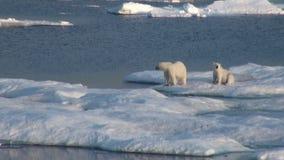 Mime al oso polar y a su cachorro en masa de hielo flotante de hielo fría almacen de metraje de vídeo