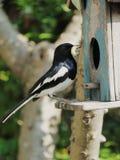 Mime al pájaro que alimenta a sus bebés con el gusano grande Imagenes de archivo