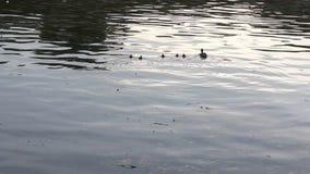 Mime al pato con sus cachorros en el lago metrajes