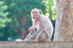Mime a Cangrejo-comer el macaque que alimenta a su bebé en la cerca concreta adentro Fotografía de archivo