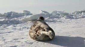 Mime a cría de foca recién nacida linda en campos de hielo almacen de metraje de vídeo
