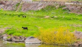 Mime a la cabra negra de Bengala y a sus tres niños Fotografía de archivo libre de regalías