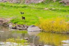 Mime a la cabra negra de Bengala y a sus tres niños Fotos de archivo