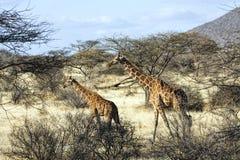 Mime a la jirafa y a su becerro que caminan en Samburu, Kenia fotografía de archivo libre de regalías