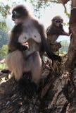 Mime a las rocas que se sientan del mono y del joven del primate del langur por la orilla y la playa de mar en Asia sudoriental Imagen de archivo libre de regalías
