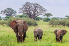 Mime y dos becerros del elefante en el parque de Tarangire, Tanzania Fotografía de archivo libre de regalías