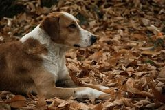 Mimetic dog in the autumn forest Stock Photos