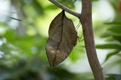Mimetic fjäril för orange oakleaf royaltyfri fotografi