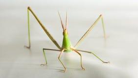 Mimetic Grasshopper (Acrida Conica) Stock Photos