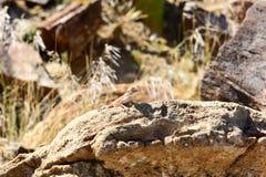 Mimetic lizard at Petrified Forest, Khorixas, Namibia Royalty Free Stock Images